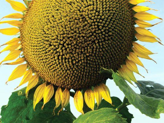Seminte de Floarea Soarelui ARMADA CL Semi-Tardiv ( 150000 Seminte)