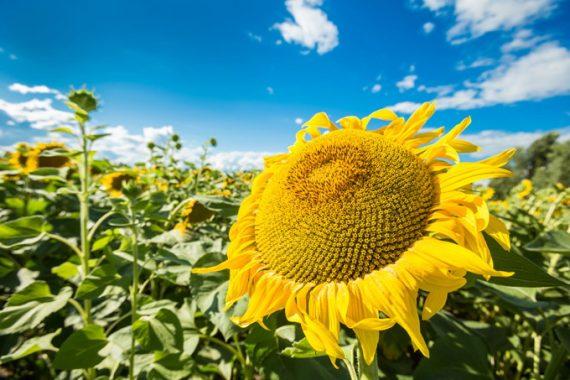 Seminte de Floarea Soarelui OLIVA HO CL Timpuriu (150000 Seminte)