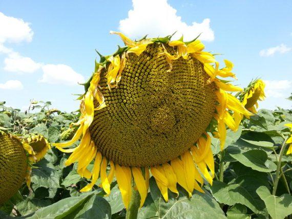 Seminte de Floarea Soarelui 13MS201 CL Semi-Timpuriu (150000 Seminte )