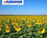Seminte de floarea soarelui Maisadour   MAS 87 A ( 150.000 seminte )