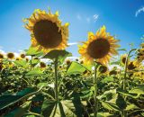 Seminte de Floarea Soarelui DUET HO CL Semi-Timpuriu (150000 Seminte)