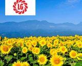 Seminte de floarea soarelui LG 54.92 HO CL (150.000 seminte)