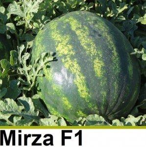 Seminte de Pepene verde Mirza F1 (1000 seminte)