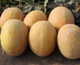 Seminte de pepene galben Flander F1 (500 seminte )