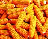 Seminte de  Porumb SY VESTAS FAO 370 (80000 Seminte)