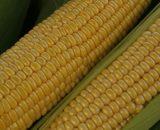 Seminte de porumb zaharat Amyla F1 ( 100.000 seminte )