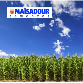 Seminte de porumb MAS 37H (50.000 seminte)