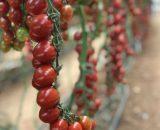 Seminte de rosii cherry Tutti Frutii F1 (250 seminte)