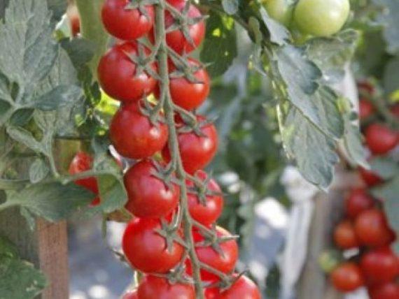 Seminte de rosii cherry Minoprio F1 (250 seminte)