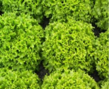 Seminte salata creata Oleole drajata F1 (5000 seminte)