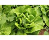 Seminte salata verde Shangore Drajata F1 (500 seminte)