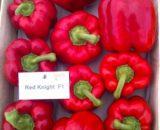 Seminte de ardei gras Red Knight F1 (100 seminte)