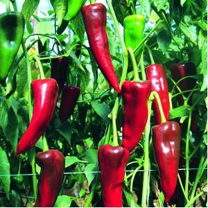 Seminte de ardei Atris (500 seminte)