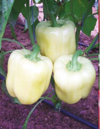 Seminte de ardei gras Gigantis F1 (1000 seminte)