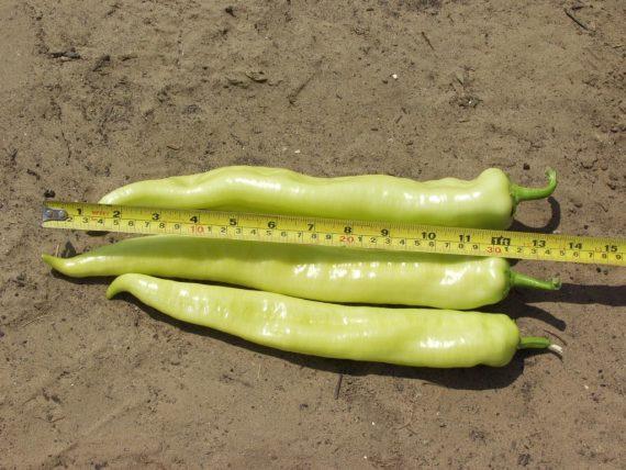 Seminte de ardei iute Daras F1 (100 seminte)