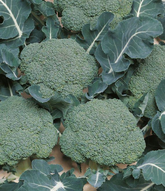 Seminte de broccoli Belstar F1 (1000 seminte)