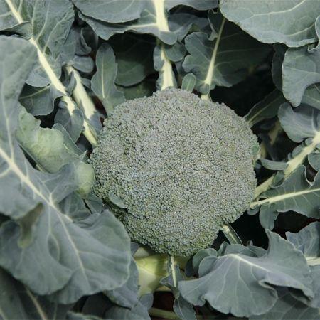 Seminte de broccoli Burney F1 (1000 seminte)