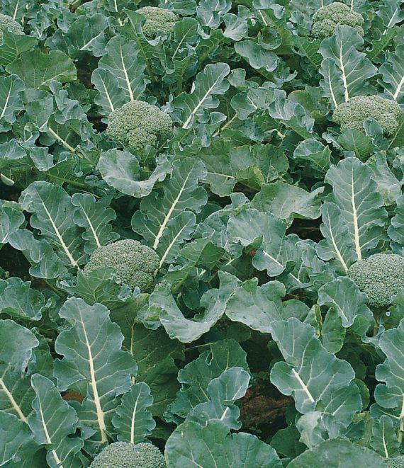 Seminte de broccoli Fiesta F1 (1000 seminte)