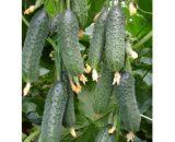 Seminte de castraveti Capricorn F1 (500 seminte)