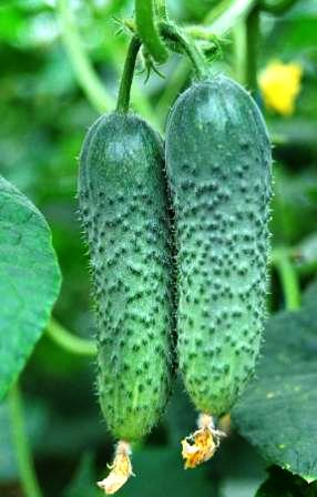 Seminte de castraveti Merengue (1000 seminte)