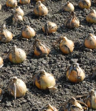 Seminte de ceapa Exhibition (10.000 seminte NS)