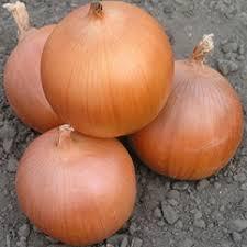 Seminte de ceapa Pandero F1 (1.000.000 seminte)