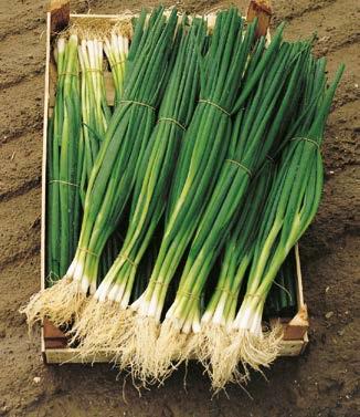 Seminte de ceapa pentru legatura Parade (10.000 seminte)