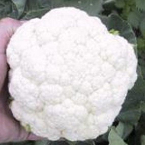 Seminte de conopida Cool F1 (2500 seminte)