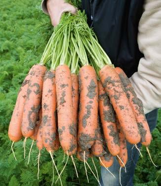 Seminte de morcovi Baltimore F1 (25.000 seminte)