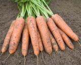 Seminte de morcovi Belgrado F1 (25.000 seminte)