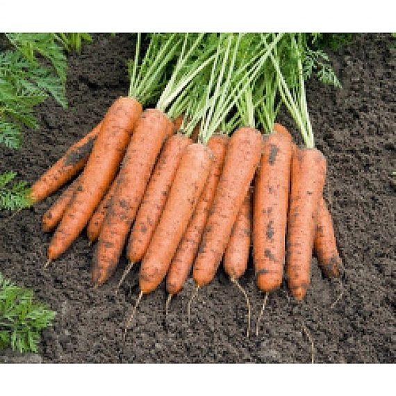 Seminte de morcovi Berlin F1 (25000 seminte)