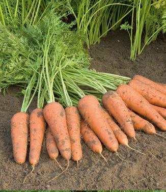 Seminte de morcovi Cupar F1 (25.000 seminte)