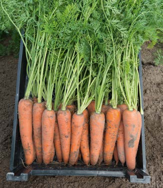 Seminte de morcovi Kamaran F1 (25.000 seminte)