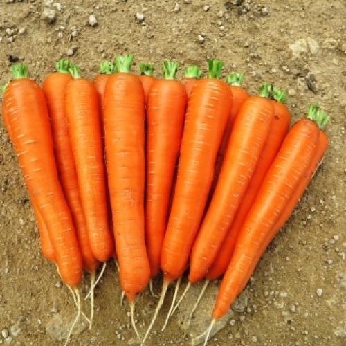 Seminte de morcovi Laguna (100.000 seminte) 1.6-1.8
