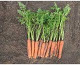 Seminte de morcovi Nacton F1 (25000 seminte)