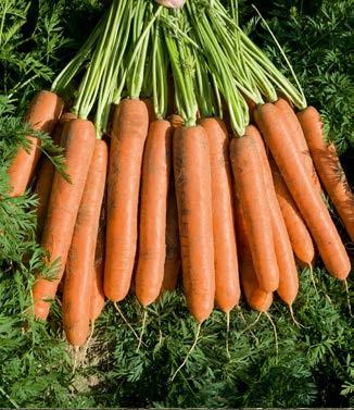 Seminte de morcovi Namdal F1 (25.000 seminte)