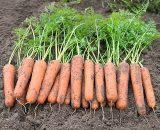 Seminte de morcovi Namibia F1 (25000 seminte)