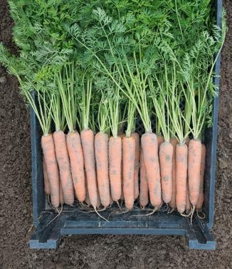 Seminte de morcovi Napoli F1 (25.000 seminte)