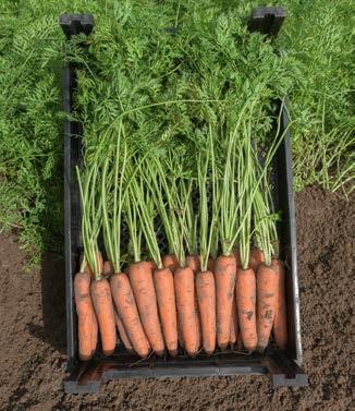 Seminte de morcovi Narbonne F1 (25.000 seminte)