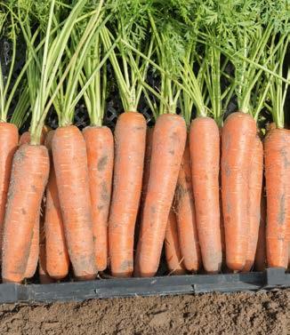 Seminte de morcovi Niagara F1 (25.000 seminte)