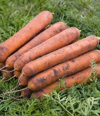 Seminte de morcovi Nominator F1 (25.000 seminte)