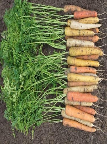Seminte de morcovi decorativi Rainbow F1 (25.000 seminte)