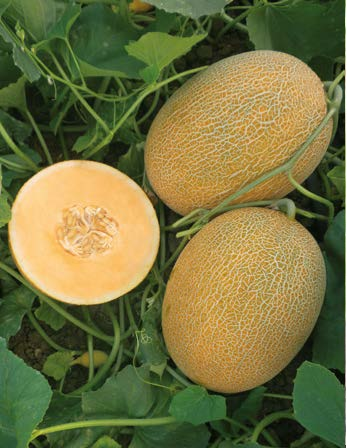 Seminte de pepeni galbeni Kemer Orange F1 (1000 seminte)
