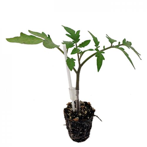 Seminte de portaltoi vinete/tomate He-Man (500 seminte)