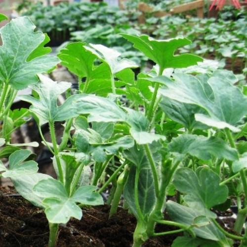 Seminte de portaltoi pentru pepeni Emphasis F1 (1000 seminte)