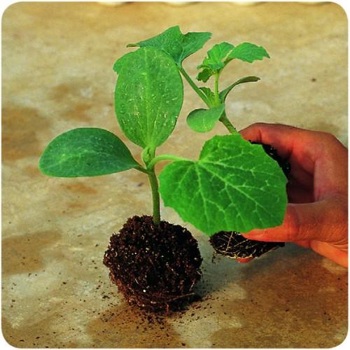 Seminte de portaltoi pentru pepeni Carnivor F1 (1000 seminte)
