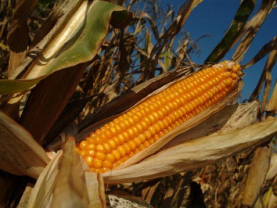 Seminte de porumb OLT FAO 430 (10 kg)