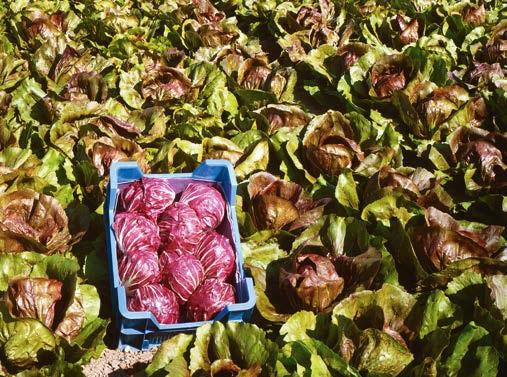 Seminte de radicchio rosso Indigo (5000 seminte)