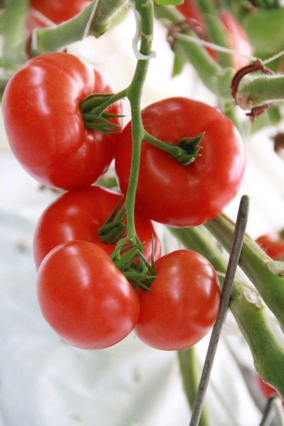 Seminte de rosii Admiro F1 (500 seminte)