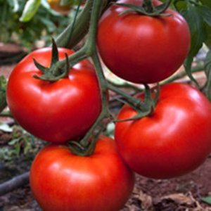 Seminte de rosii Amaneta F1 (500 seminte)
